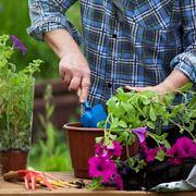 Coltivare petunie