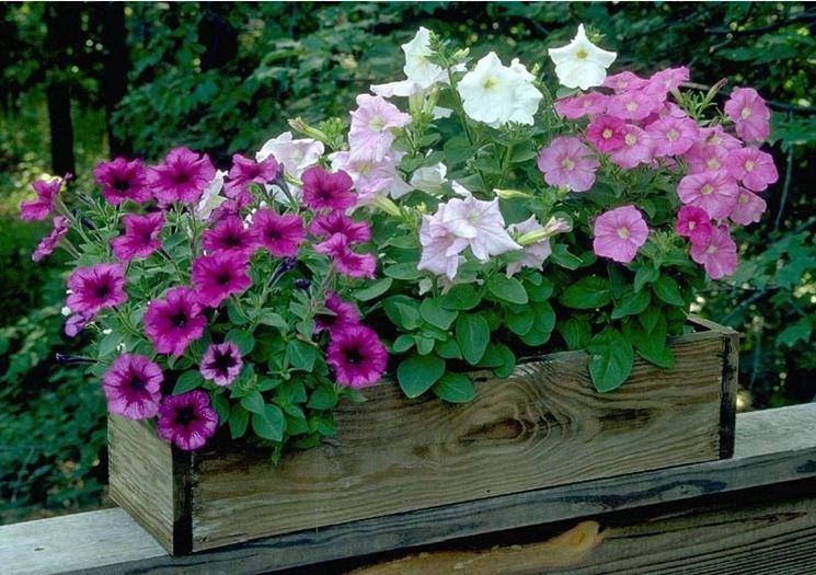 Petunie e surfinie differenza fiori delle piante for Giardinaggio e fiori
