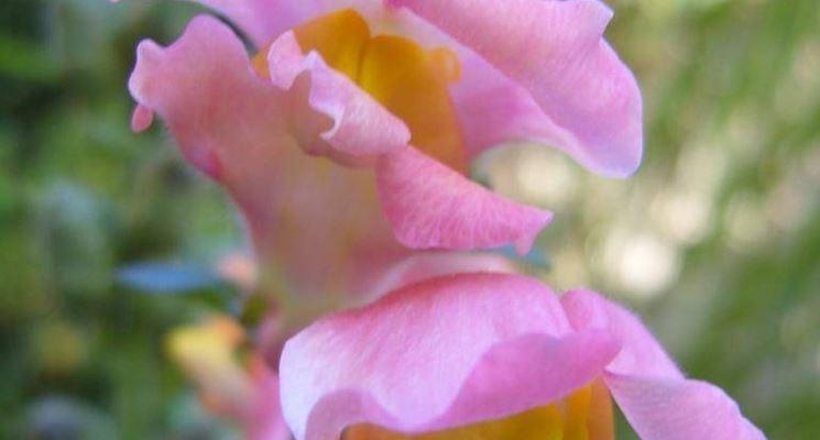 Piante di fiori fiori delle piante for Bocca di leone in vaso
