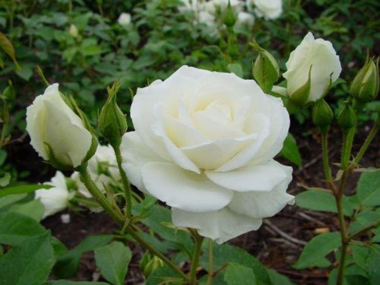 Pianta rosa bianca