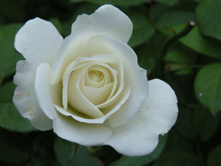 Varietà rosa fiore