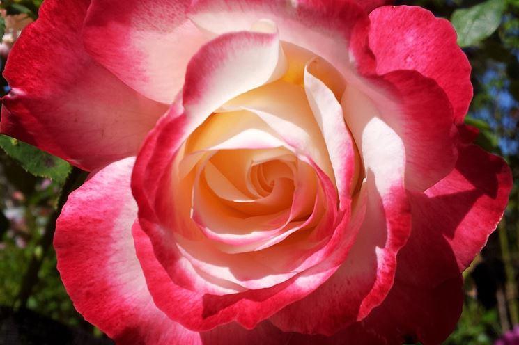 Germoglio rose