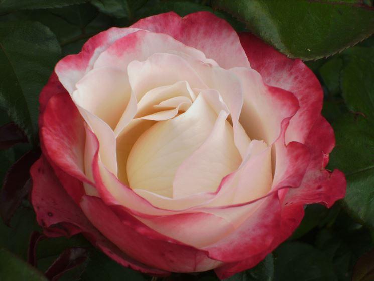 Rose varietà
