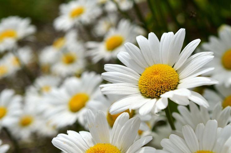 Campo di margherite fiorite