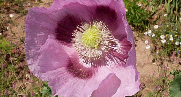 Fiore di Oppio