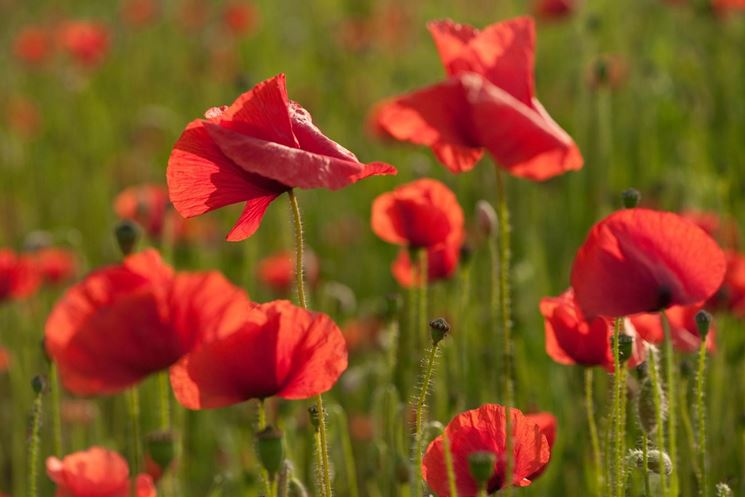 fiori papavero