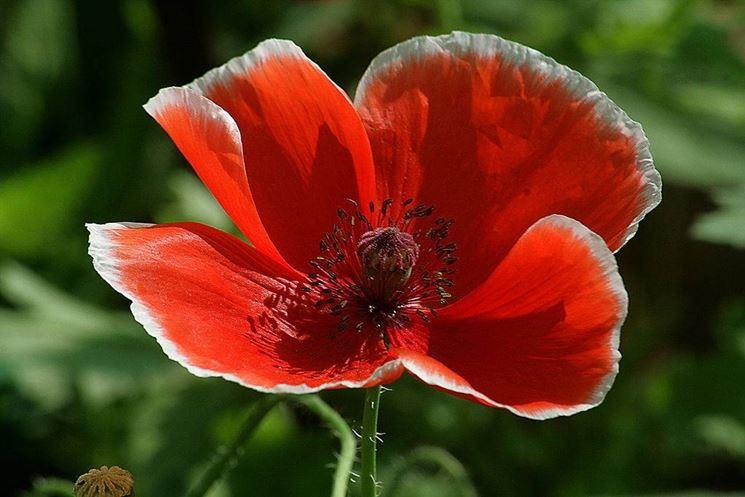Fiore di papavero rosso
