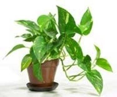 Rinvaso pianta un po 39 storto lascio cos o la rinvaso for Piante sempreverdi da appartamento