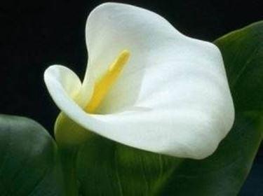 Calla albomaculata (Zantedeschia)