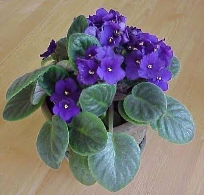 Fiori da vaso fiorista for Pianta fiori viola