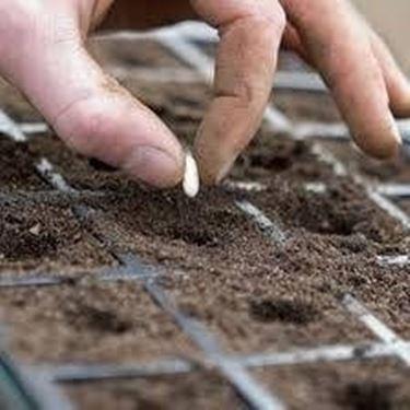 seminare sementi fiori