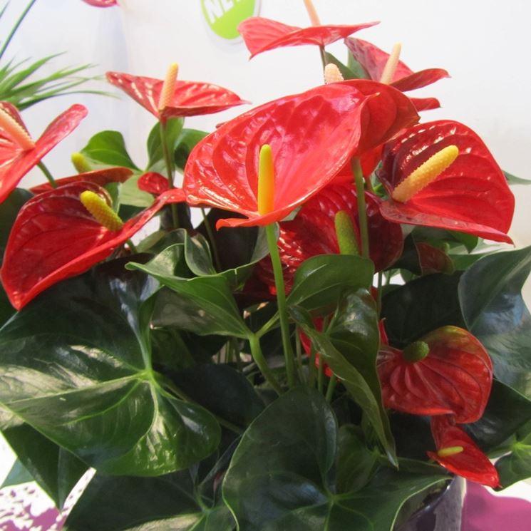 Pianta di anthurium rossa