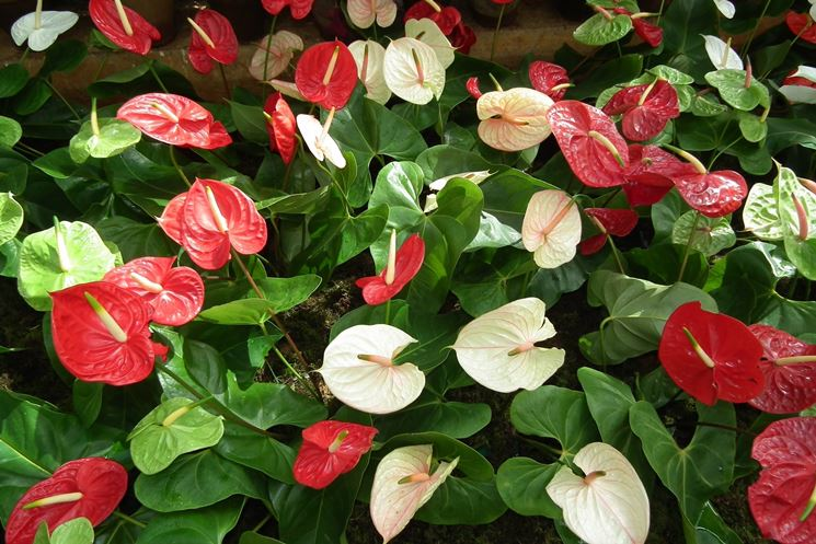 Piante di anthurium colorate