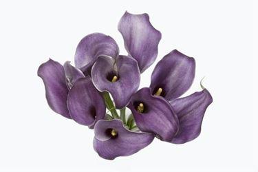 La calla viola, detta anche calla nera. Simbolo di vita eterna ed associata al culto dei morti.
