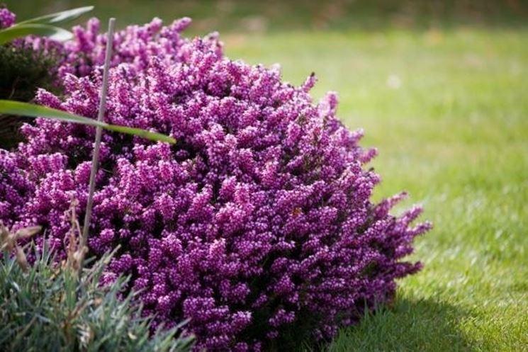 Erica fiore linguaggio dei fiori il fiore dell 39 erica for Tipi di fiori