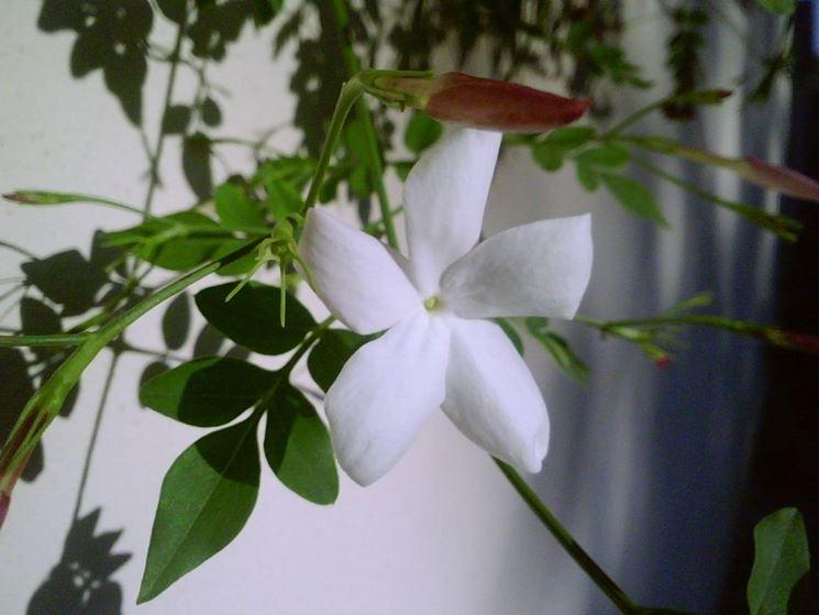 Il fiore del gelsomino
