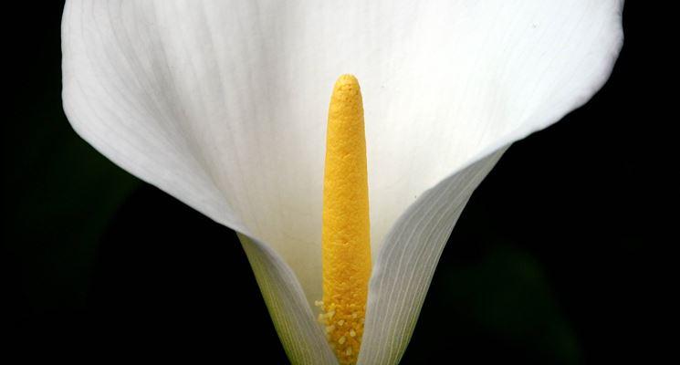 La calla (Zantedeschia aethiopica).