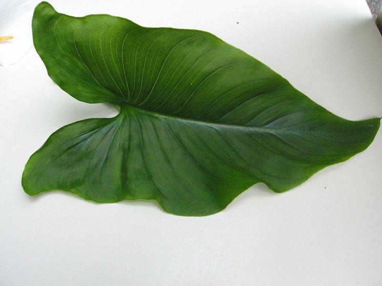 Per facilitare una seconda fioritura si sconsiglia di tagliare le foglie di calla finché non ingialliscono.