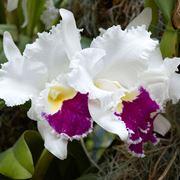 Orchidea bianca con striature rosse, un forte simbolo religioso