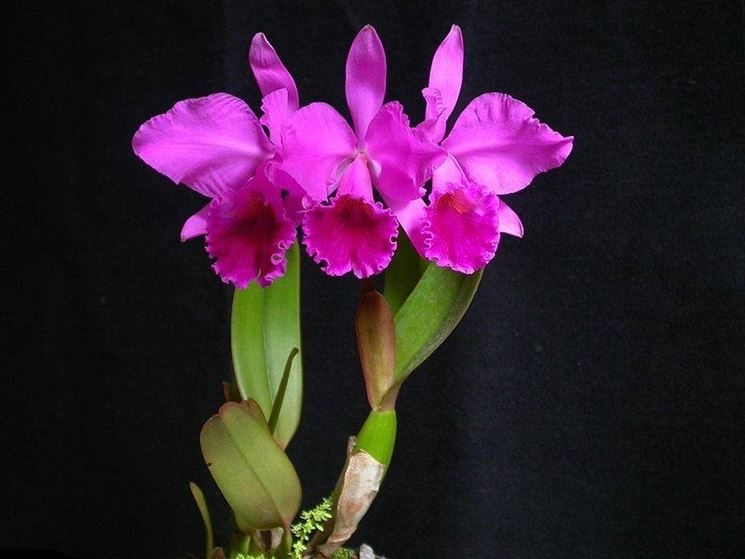 L'orchidea cattleya: diffusa in epoca vittoriana