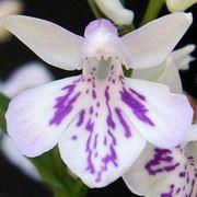 orchidea bianca significato