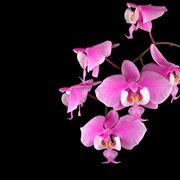 orchidea nera significato