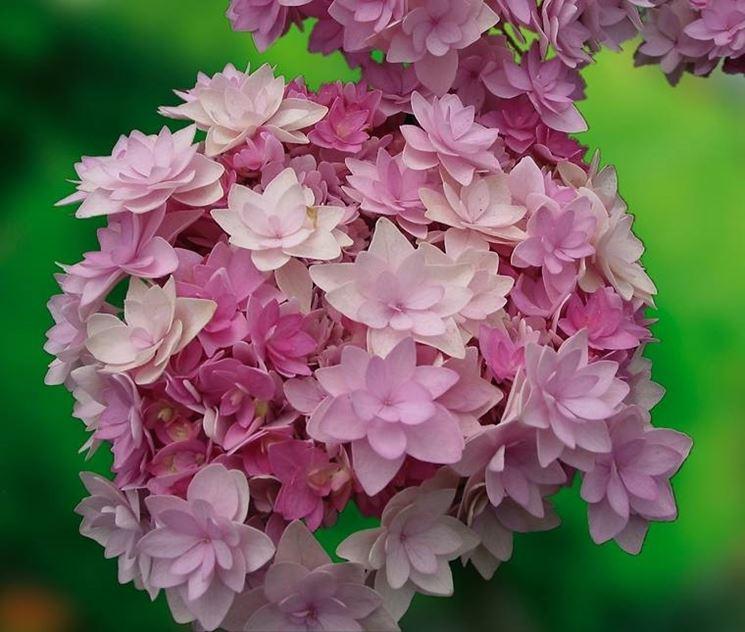 fiori di ortensia