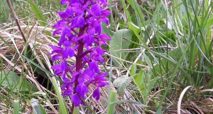 Orchidea viola.