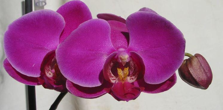 La Phalaenopsis è l'orchidea più diffusa.