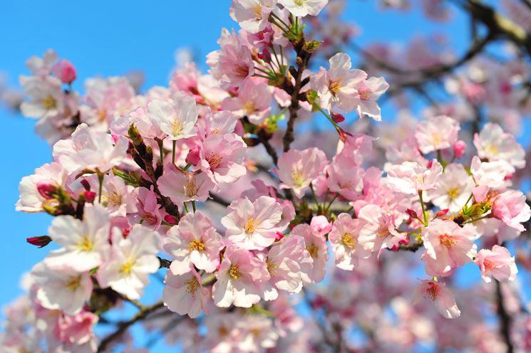 significato fiori di ciliegio