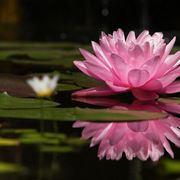 immagini fiori di pesco