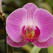 orchidea tatuaggio