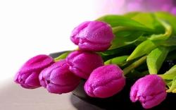 tulipani violetti