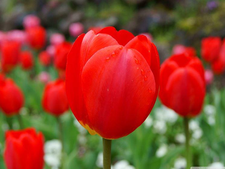 Significato Fiori Tulipano Linguaggio Dei Fiori Significato Fiori