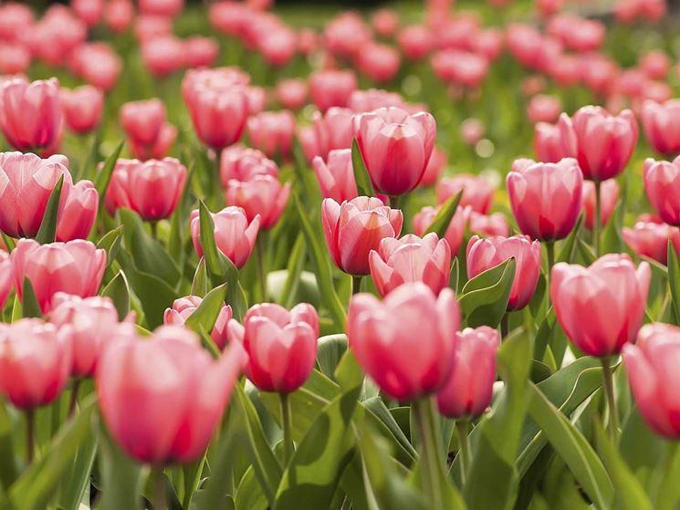 Fiori Tulipani.Significato Fiori Tulipano Linguaggio Dei Fiori Significato Fiori