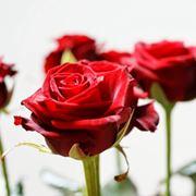 rosa rossa significato