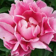 giglio fiore immagini