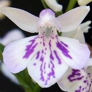 tatuaggio orchidea significato