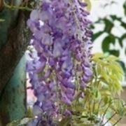fiori glicine