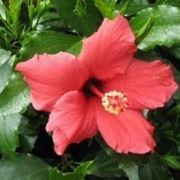 fiori hawaiani