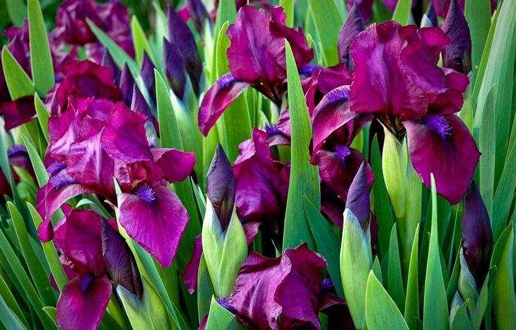 fiori iris