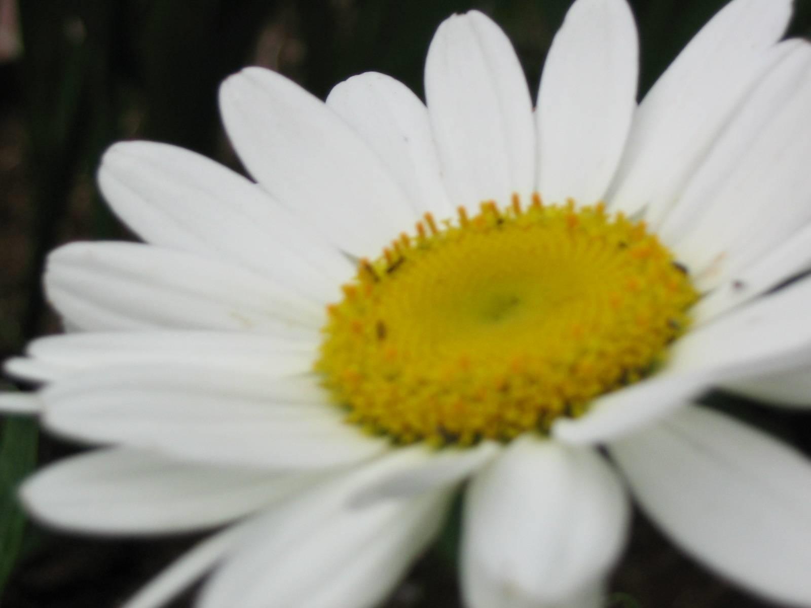 Significato margherita significato fiori margherita for Fiori semplici