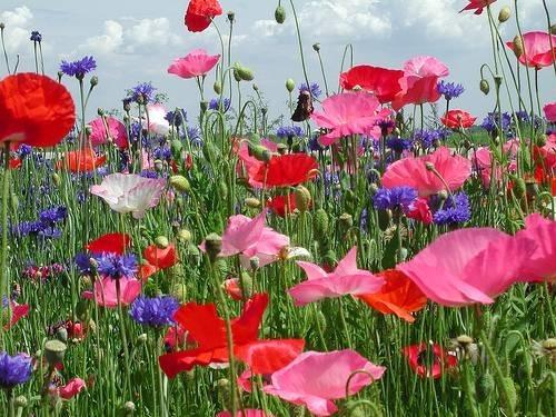 Fiore di campo - Vegetazione spontanea - Fiore di campo caratteristiche