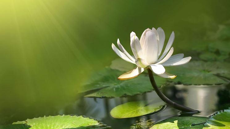 Esposizione fiore di loto