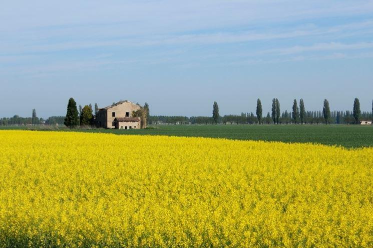 campi di colza