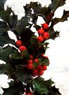 """Ilex aquifolium"""""""