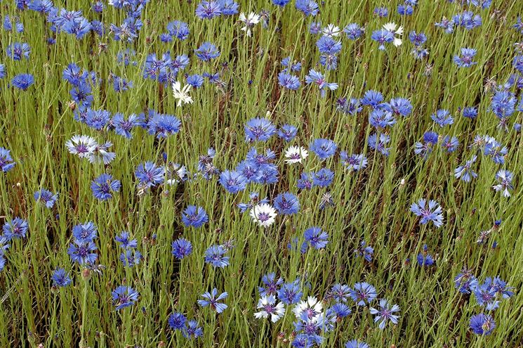 fiore del fiordaliso
