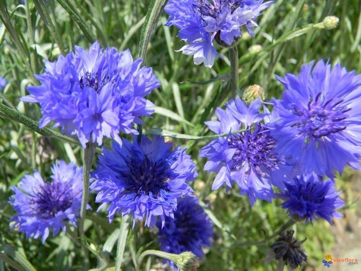 fiori di fiordaliso