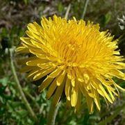 fiori gialli montani