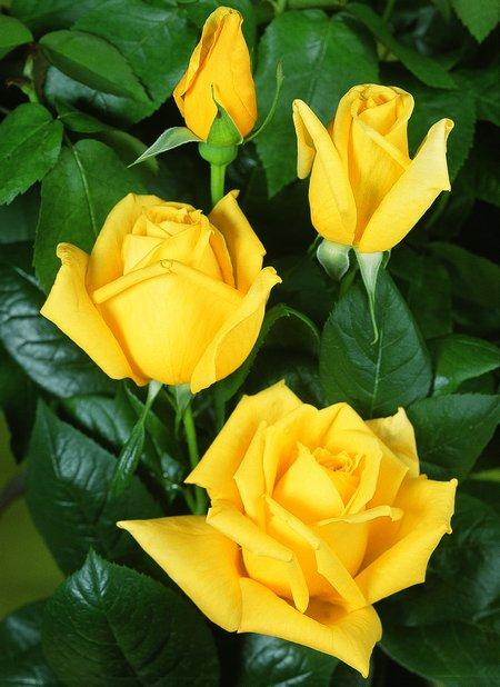 عکس غنچه گل رز زرد